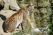 A photo taken on August 10 2015 shows a lynx at the Paris Zoological Park formerly known as the Bois de Vincennes Zoological Park in Paris The zoo...