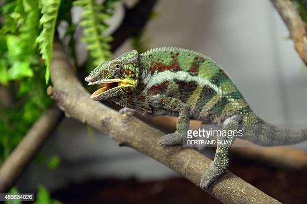 A photo taken on August 10 2015 shows a panther chameleon at the Paris Zoological Park formerly known as the Bois de Vincennes Zoological Park in...
