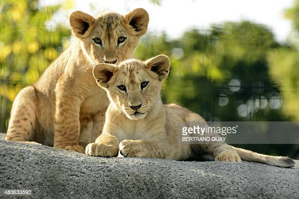 A photo taken on August 10 2015 shows African lion cubs at the Paris Zoological Park formerly known as the Bois de Vincennes Zoological Park in Paris...