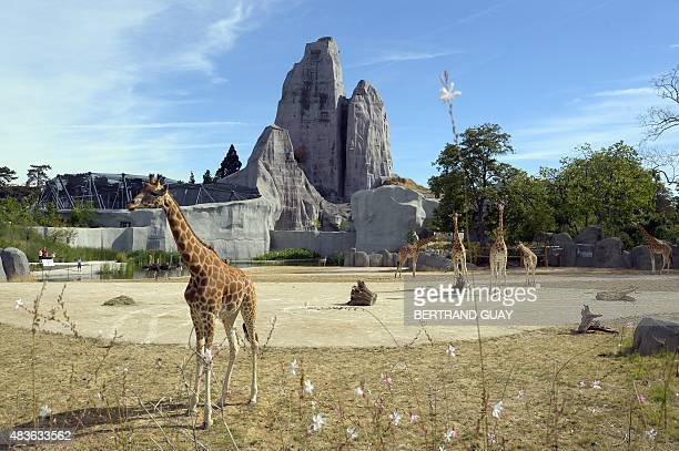 A photo taken on August 10 2015 shows giraffes below the Great Rock at the Paris Zoological Park formerly known as the Bois de Vincennes Zoological...