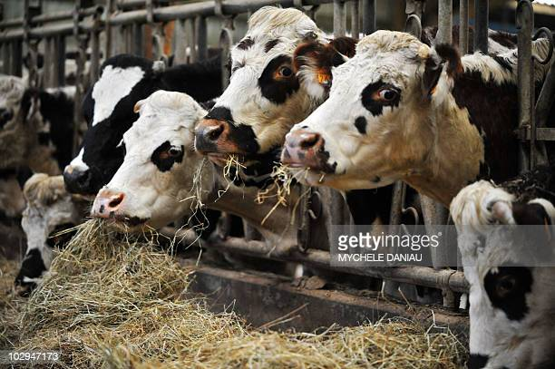 A photo taken on December 5 2008 shows cows eating in a farm in Chavoy northern France AFP PHOTO MYCHELE DANIAU