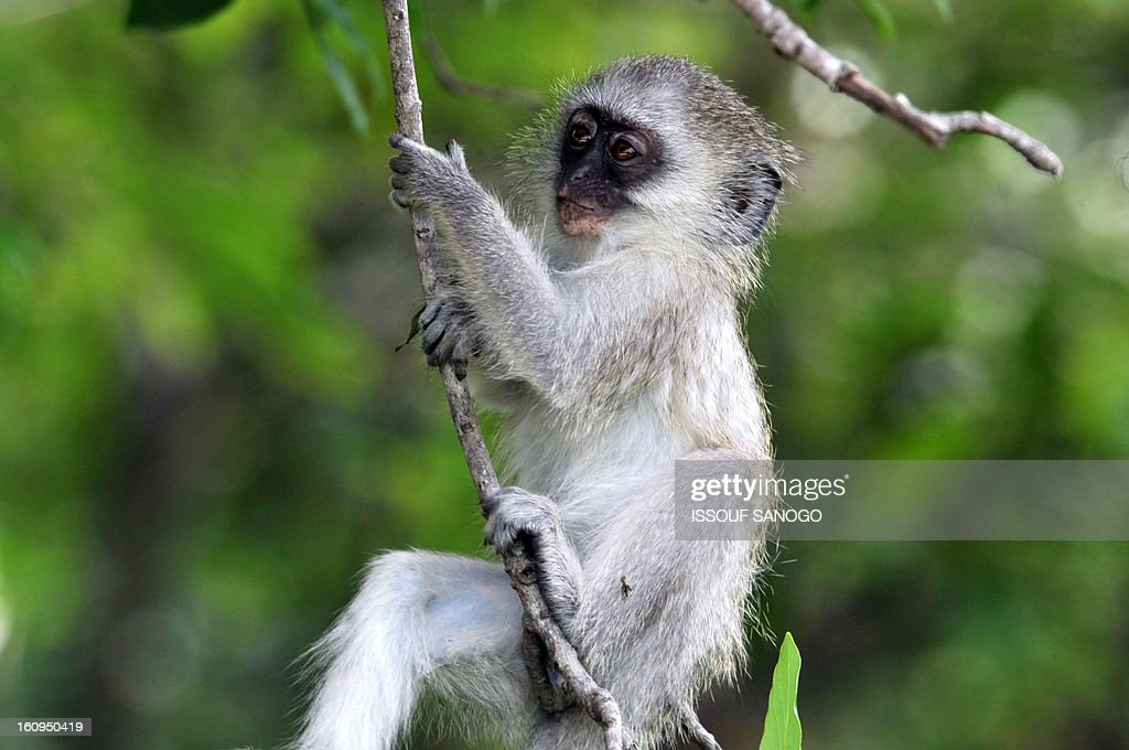 Photo taken on February 6, 2013 shows a baby Vervet monkey (African Green monkey) in the Kruger National Park near Nelspruit, South Africa.