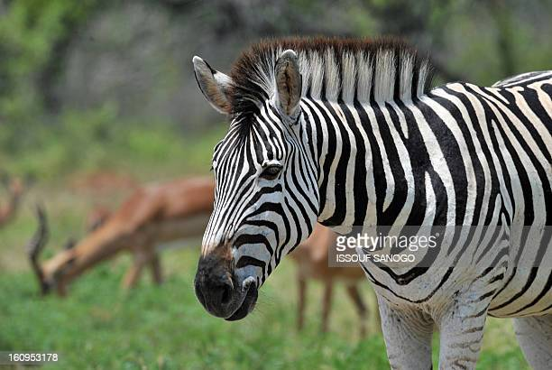 Photo taken on February 6 2013 shows a plains zebra in the Kruger National Park near Nelspruit South Africa AFP PHOTO / ISSOUF SANOGO