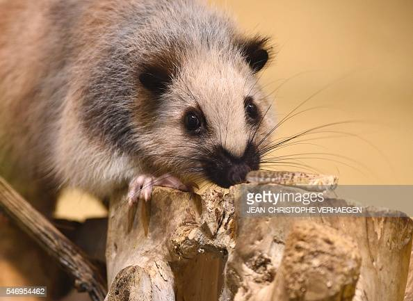 A photo taken on July 13 2016 shows a giant rat of Indonesia at the zoological park of the eastern French city of Amneville / AFP / JEANCHRISTOPHE...