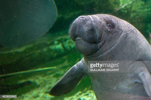 A photo taken on July 19 2014 shows Mandilo a baby manatee which was born on April 24 swimming at the Zoo Parc of Beauval Mandilo was rescued and...