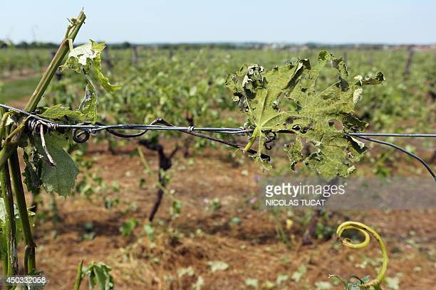 Photo taken on June 9 2014 near Cognac shows the damage done to a vineyard after a violent storm hit the region during the night Strong winds and...