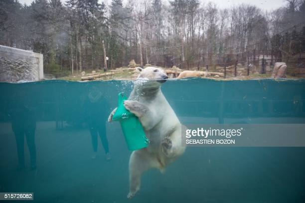 A photo taken on March 15 2016 shows a polar bear at the zoo in Mulhouse eastern France / AFP / SEBASTIEN BOZON
