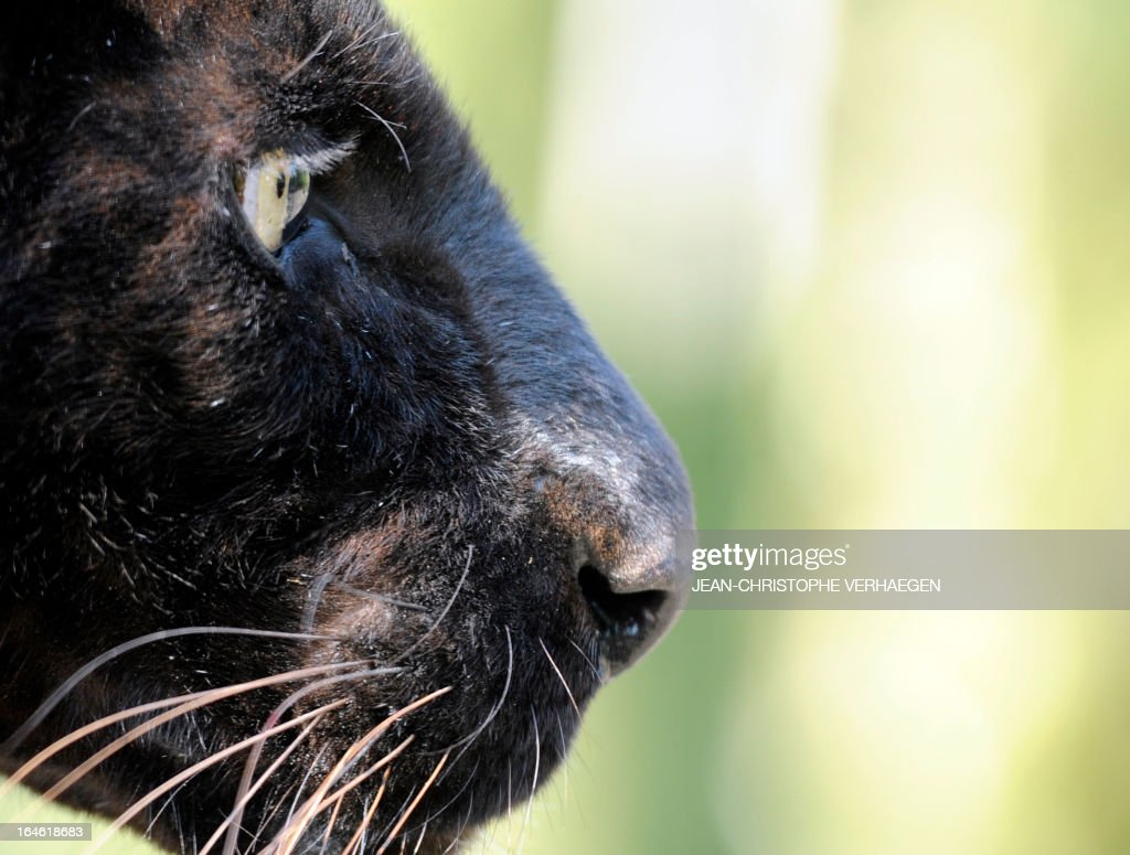 A photo taken on March 25, 2013 shows a black panther at a zoological park the eastern French city of Amneville.