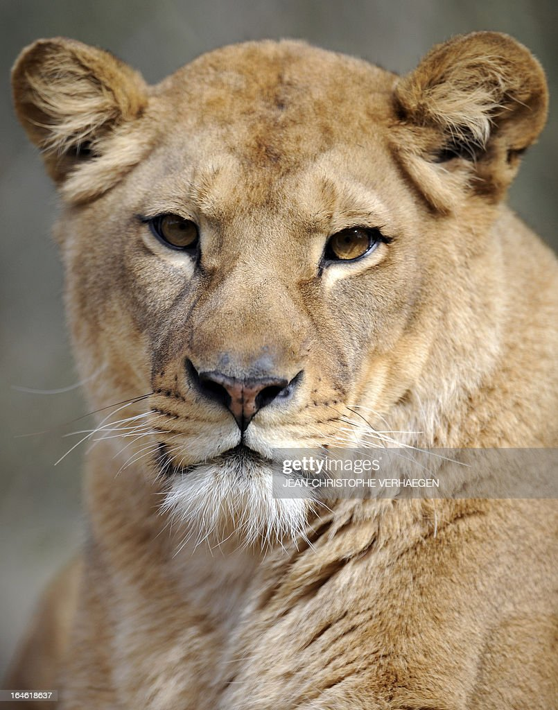 A photo taken on March 25, 2013 shows a female lion at a zoological park the eastern French city of Amneville.