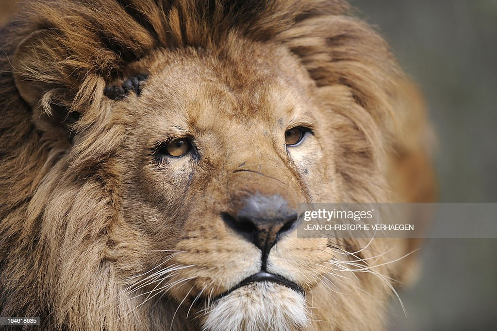 A photo taken on March 25, 2013 shows a male lion at a zoological park the eastern French city of Amneville. AFP PHOTO / JEAN-CHRISTOPHE VERHAEGEN