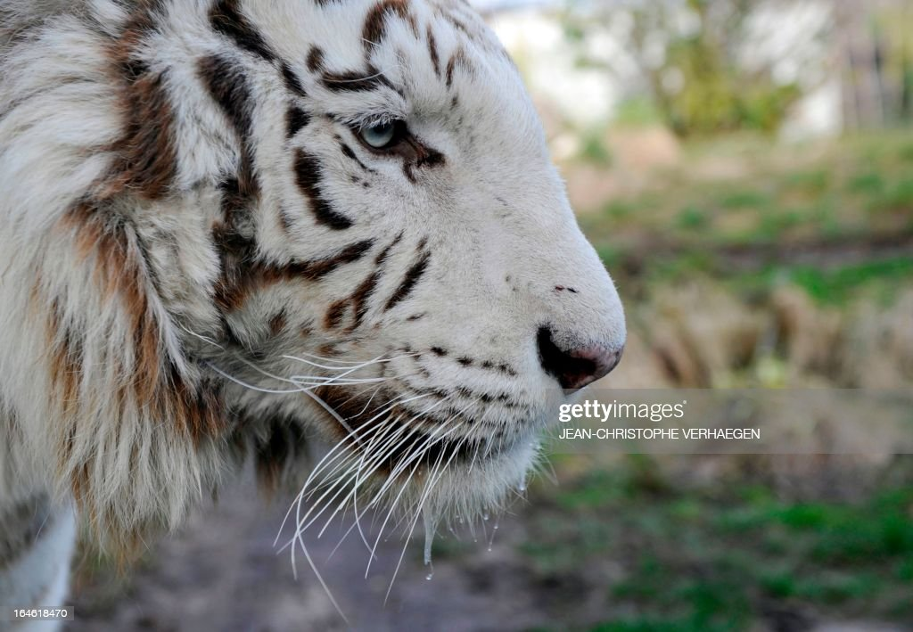 A photo taken on March 25, 2013 shows an albino tiger at a zoological park the eastern French city of Amneville.