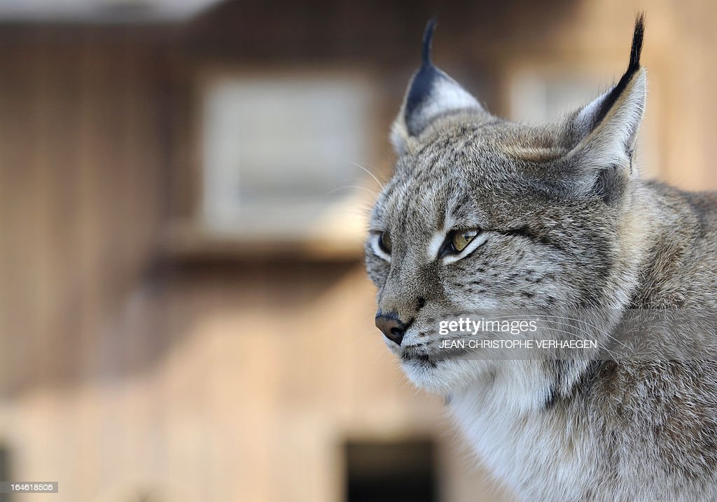 A photo taken on March 25, 2013 shows an Eurasian lynx at a zoological park the eastern French city of Amneville. AFP PHOTO / JEAN-CHRISTOPHE VERHAEGEN