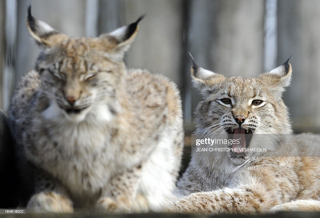 A photo taken on March 25, 2013 shows Eurasian lynxes at a zoological park the eastern French city of Amneville. AFP PHOTO / JEAN-CHRISTOPHE VERHAEGEN