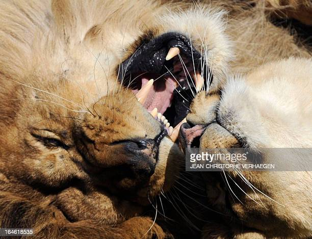 A photo taken on March 25 2013 shows lions at a zoological park the eastern French city of Amneville AFP PHOTO / JEANCHRISTOPHE VERHAEGEN