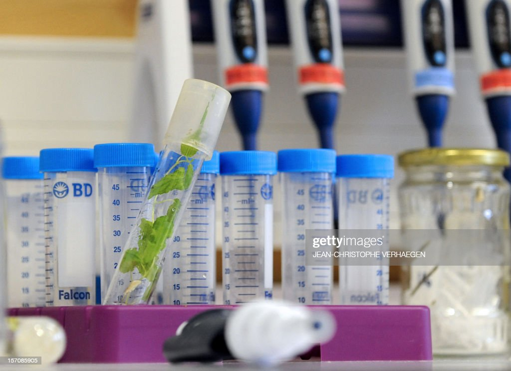 MARTINACHE - A photo taken on November 27, 2012 shows a sample of a plant before a biochemical analysis at the INRA Nancy (National Institute of Agronomic Research) in Champenoux.