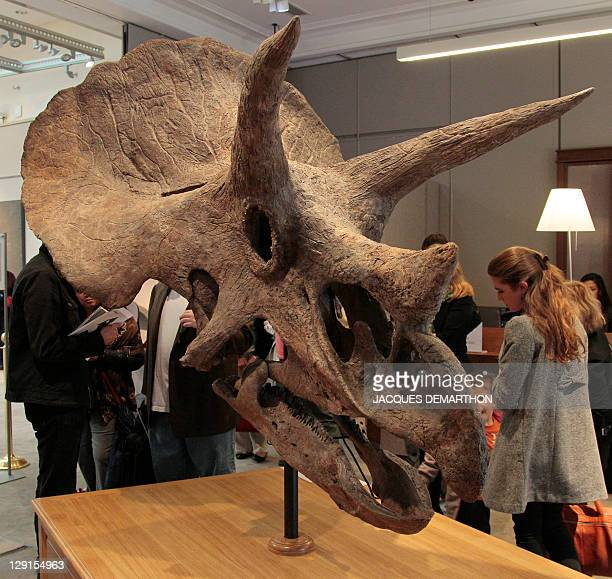A photo taken on October 13 2011 at Sotheby's auction house in Paris shows a Triceratops dinosaur skull which was sold today 150000 euros