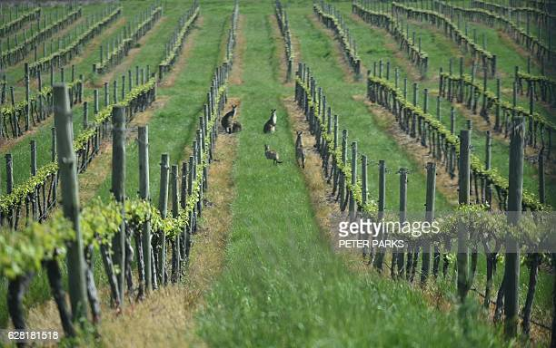 Photo taken on October 29 2016 shows kangaroos between the vines at a vineyard in Orange With recordbreaking hot weather tipped to become the new...