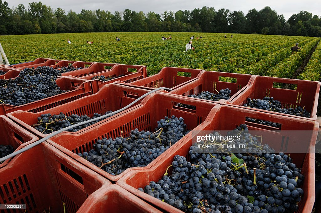 A photo taken on October 4, 2012 shows grapes during harvest at Chateau Lascombes vineyard in Margaux, southwestern France France. AFP PHOTO JEAN PIERRE MULLER.