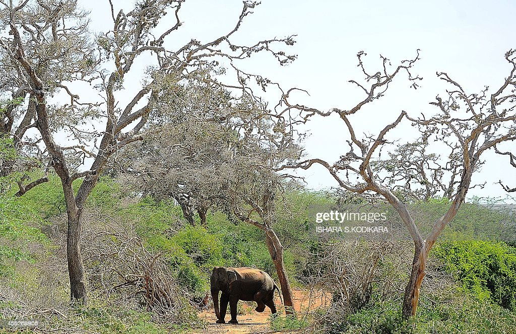 A photo taken on September 11 2014 in the southern district of Yala shows a Sri Lankan elephant walking at Yala National Park Parts of the Indian...