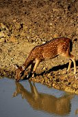 A photo taken on September 11 2014 shows a Sri Lanka axis deer drinking water at Yala National Park in the southern district of Yala some 250 km...