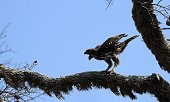 A photo taken on September 11 2014 shows an eagle standing on a branch at Yala National Park in the southern district of Yala some 250 km southwest...