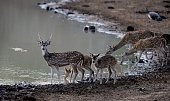 A photo taken on September 11 2014 shows Sri Lanka axis deers drinking water at Yala National Park in the southern district of Yala some 250 km...