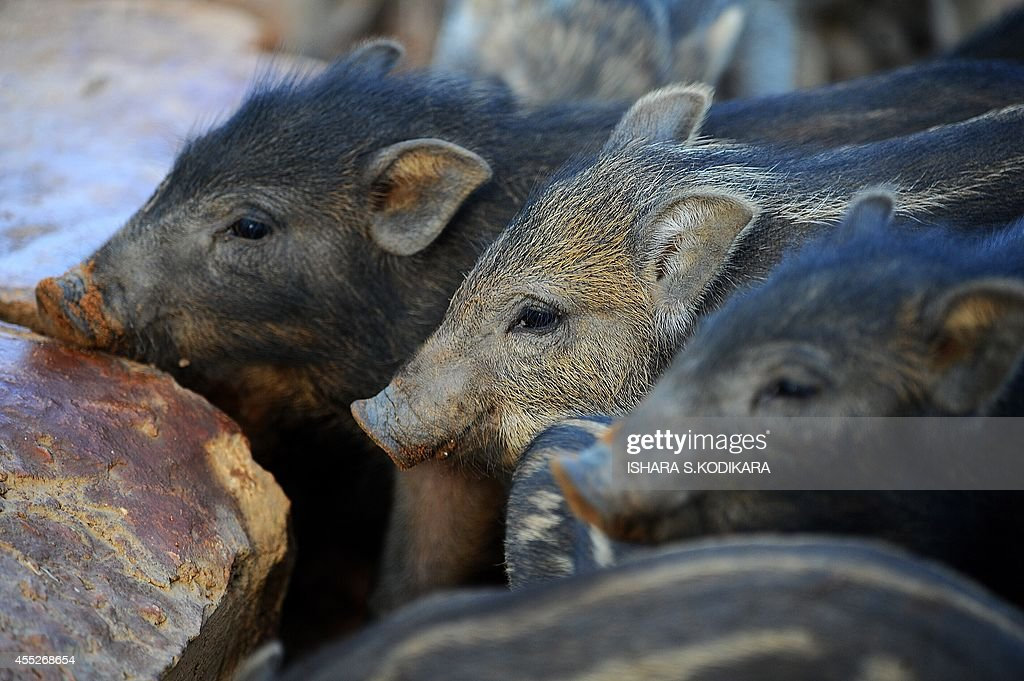 A photo taken on September 11 2014 shows wild boars at Yala National Park in the southern district of Yala some 250 km southwest of Colombo Parts of...