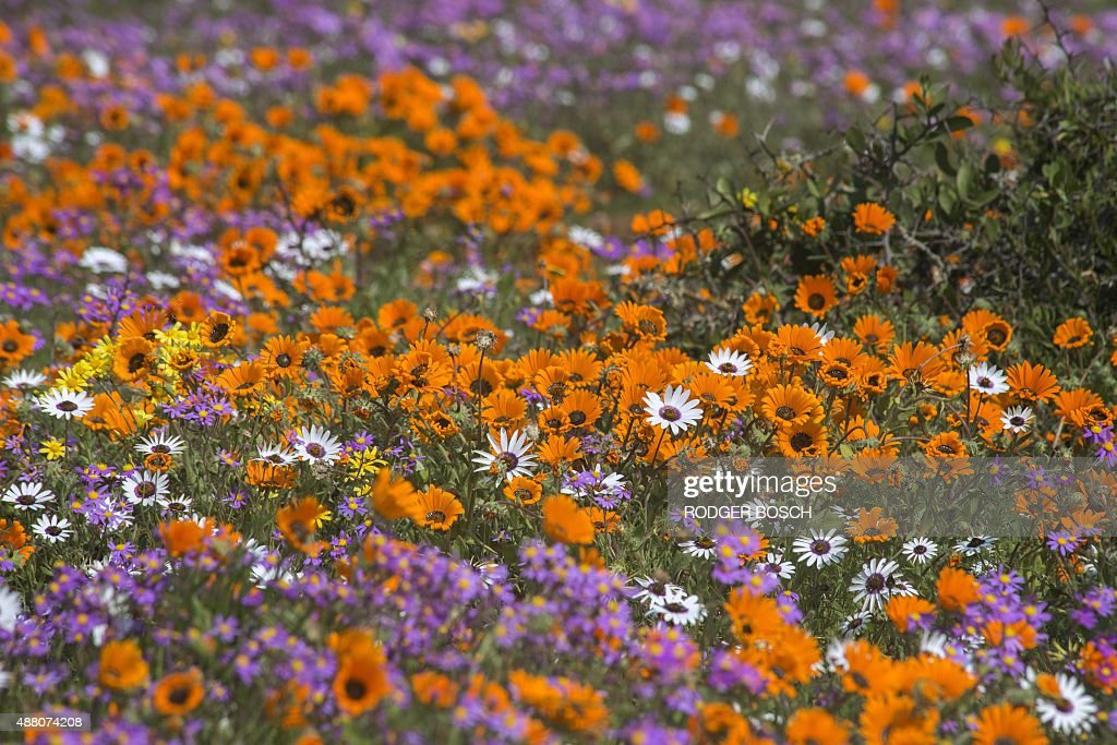 A photo taken on September 13 2015 shows wildflowers at the West Coast National Park close to the town of Langebaan about 100km north of Cape Town...
