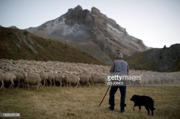A photo taken on September 14 2012 shows shepherd Pierre Deval as he tends to his sheep in Arvieux in the Queyras valley of the HautesAlpes region of...