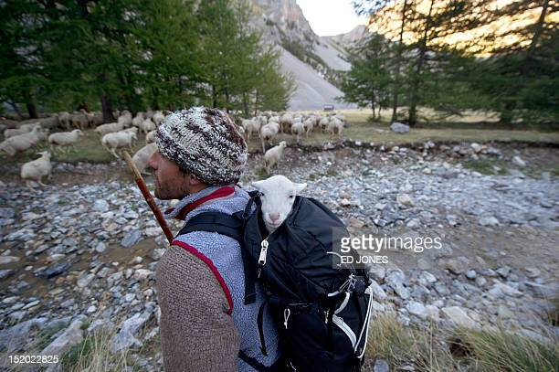 A photo taken on September 14 2012 shows shepherd Pierre Deval carrying in his bag a newborn lamb as he guides his sheep to lower pastures in Arvieux...