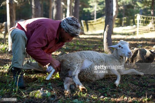 A photo taken on September 14 2012 shows shepherd Pierre Deval helping a sheep to give birth in Arvieux in the Queyras valley of the HautesAlpes...