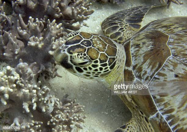 A photo taken on September 22 shows a turtle on Australia's Great Barrier Reef The 2300kilometrelong reef contributes AUS$54 billion annually to the...