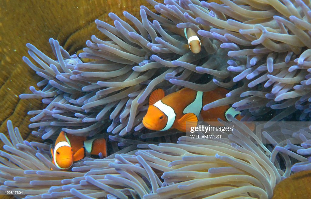 A photo taken on September 22 shows fish swimming through the coral on Australia's Great Barrier Reef The 2300kilometrelong reef contributes AUS$54...
