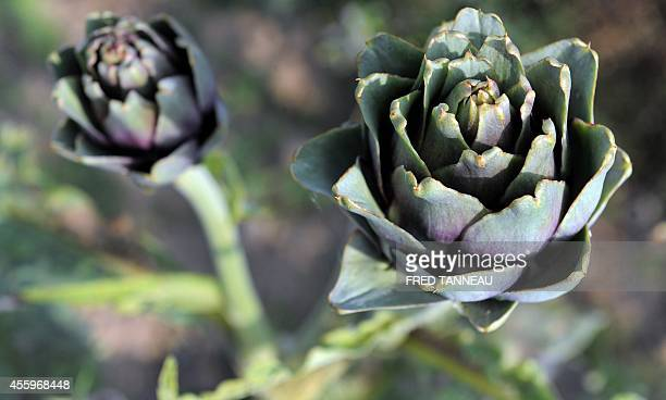 FERRER A photo taken on September 23 2014 shows an artichoke field in SaintPoldeLeon western of France French vegetable farmers say they are losing...