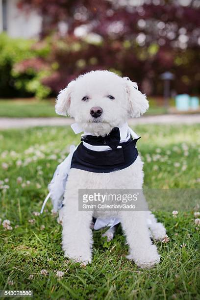 Photograph of a Bichon Frise dog sitting upright and wearing a tuxedo on a grassy lawn 2011 Image courtesy Morgan Yang