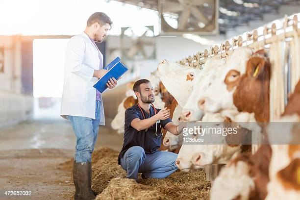 A photograph of a herd of cows being inspected by assessors