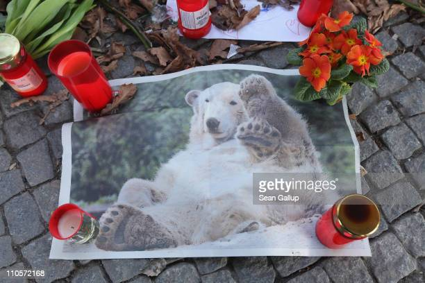 A photograph of polar bear Knut lies amond candles and flowers left by mourners at the gate of the Berlin Zoo on March 22 2011 in Berlin Germany Knut...
