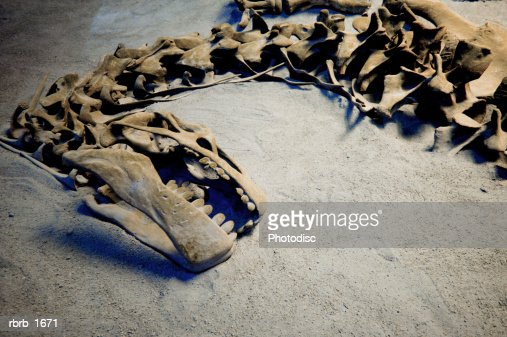 photograph of the fossil remains of a dinosaur skeleton : Photo