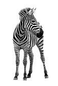 More Zebra.