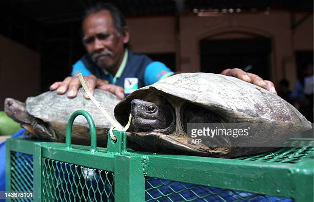 A photograph taken on April 4 2012 shows a Penang wildlife and national parks department officer displaying seized turtles in Georgetown the capital...