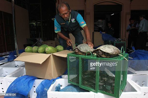 A photograph taken on April 4 2012 shows a Penang wildlife and national parks department officer displaying seized cobras and turtles in Georgetown...