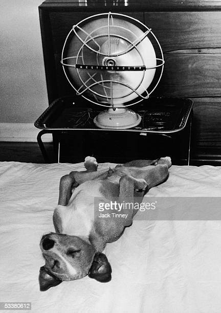 Photographer Jack Tinney's dog 'Cookie' cooling himself with electric fan Philadelphia Pennsylvania 1960