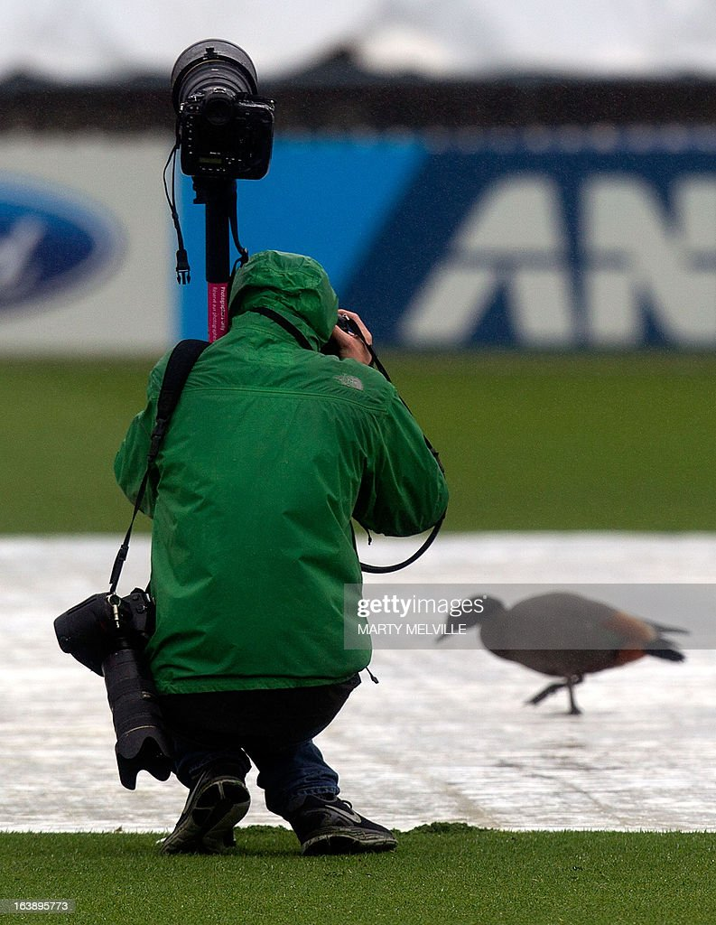 A photographer photographs a Paradise Shelduck that sits on the covers as the rain falls during day five of the international cricket Test match between New Zealand and England played at the Basin Reserve in Wellington on March 18, 2013. AFP PHOTO / Marty MELVILLE