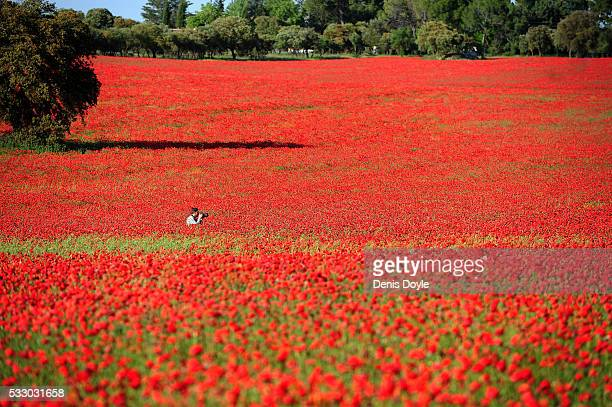 A photographer shoots a newly married couple in a field of wild poppies in the Castilla La Mancha landscape after a wet spell of rainfall on May 19...