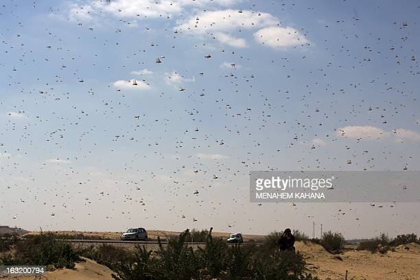 A photographer takes pictures of a swarm of locusts flying on March 6 2013 in the Israeli village of Kmehin in the Negev Desert near the Egyptian...