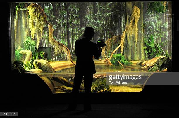 A photographer takes pictures of an American Alligator that is on display in the Everglades National Park section of the National Aquarium which held...