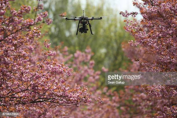 A photographer's drone flies among blossoming cherry trees on April 20 2017 in Berlin Germany Farmers are concerned that a recent cold snap that...