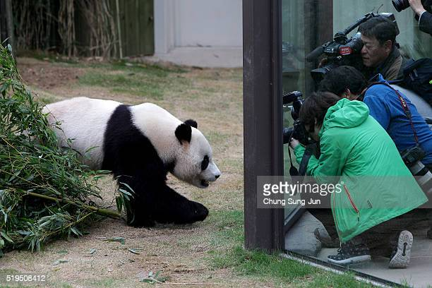 Photographers take photos of Giant chinese panda Le Bao at Everland amusement park on April 7 2016 in Yongin South Korea South Korean amusement park...