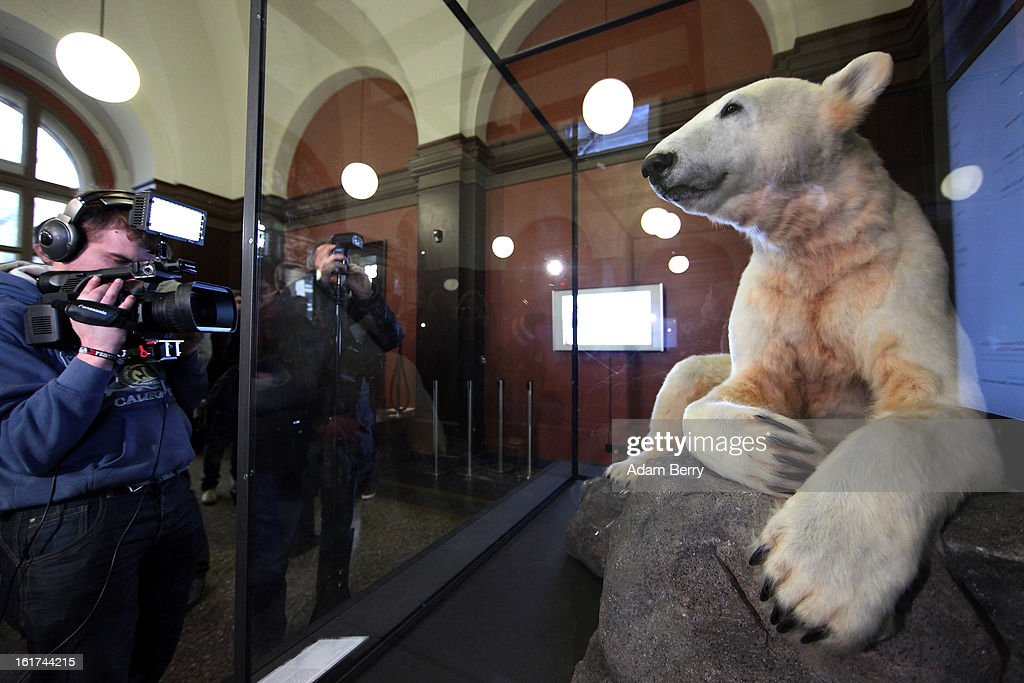 Photographers take pictures of Knut the polar bear, featuring his original fur, on display in the Natural History Museum (Naturkundemuseum) on February 15, 2013 in Berlin, Germany. Though Knut, the world-famous polar bear from the city's zoo abandoned by his mother and ultimately immortalized as a cartoon film character, stuffed toys, and more temporarily as a gummy bear, died two years ago, he will live on additionally as a partially-taxidermied specimen in the museum. Until March 15, the dermoplastic model of the ursine celebrity will be on display before it joins the museum's archive, though visitors can see it once again as part of a permanent exhibition that begins in 2014.