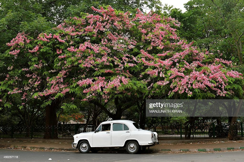 An Ambassador car stands parked under a blossoming tree in Bangalore on May 30 2014 The maker of India's Ambassador car has suspended production...
